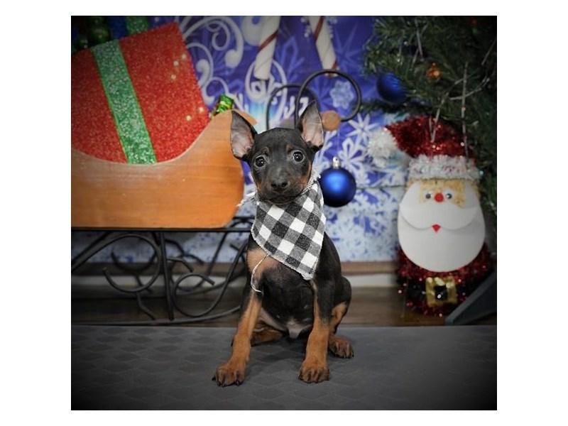 Miniature Pinscher-Male-Black / Rust-2918593-My Next Puppy