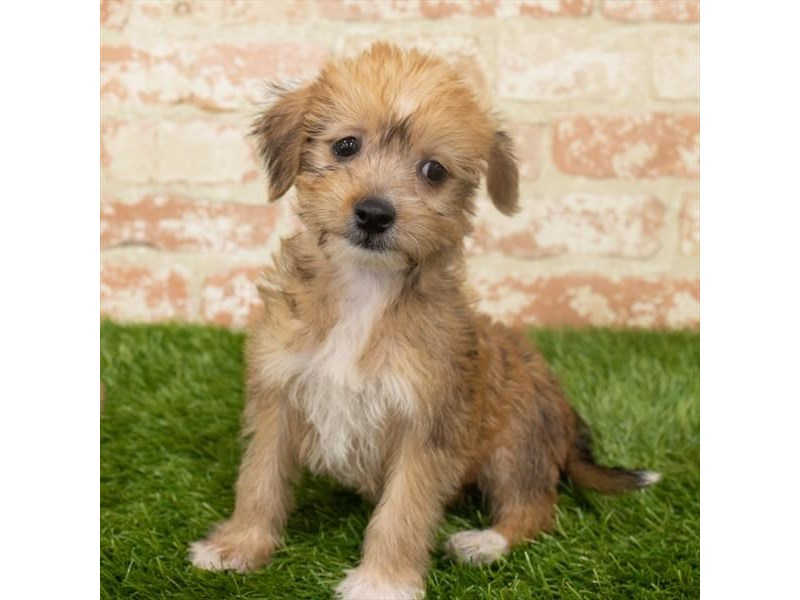 Chinese Crested-Male-Red-2918598-My Next Puppy