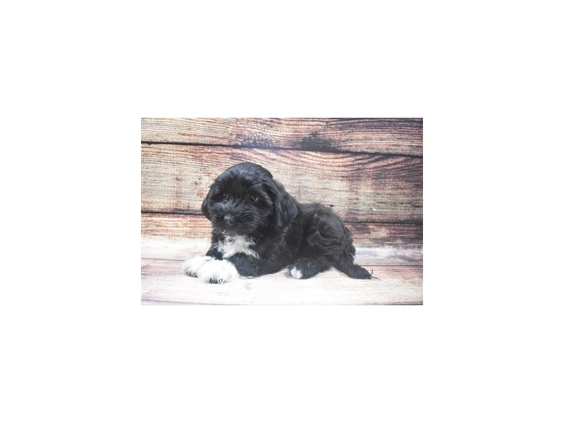 Havanese-Female-Black-2918856-My Next Puppy