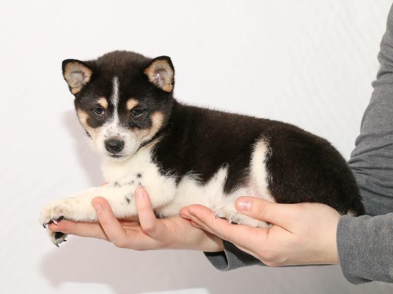Shiba Inu-Female-Black-2918597-My Next Puppy