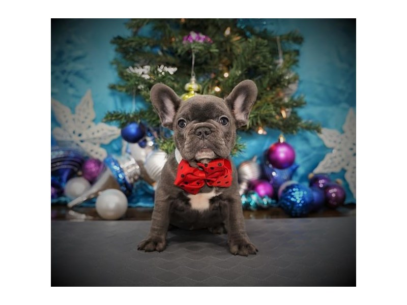 French Bulldog-Female-Blue-2925776-My Next Puppy