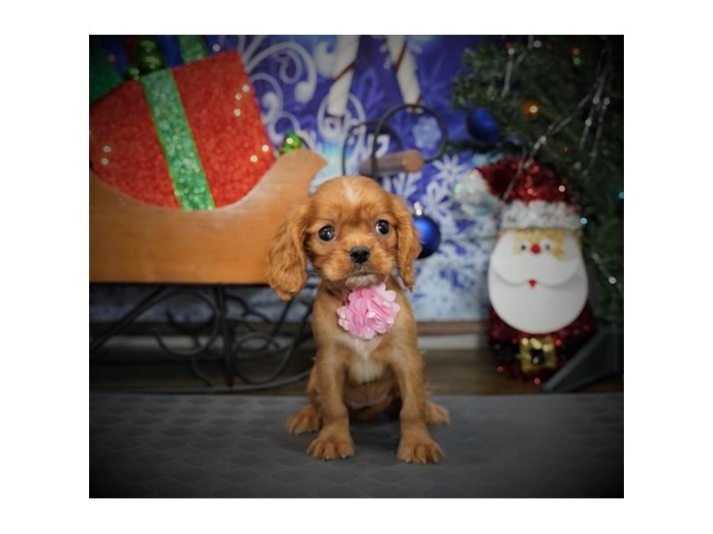 Cockalier-Female-Ruby-2925777-My Next Puppy
