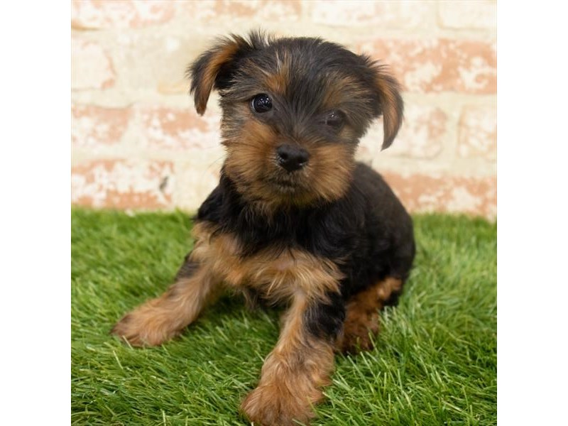Yorkshire Terrier – Cindy-Lou