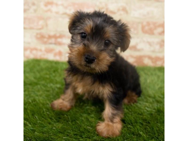 Yorkshire Terrier-Male-Black / Tan-2925783-My Next Puppy