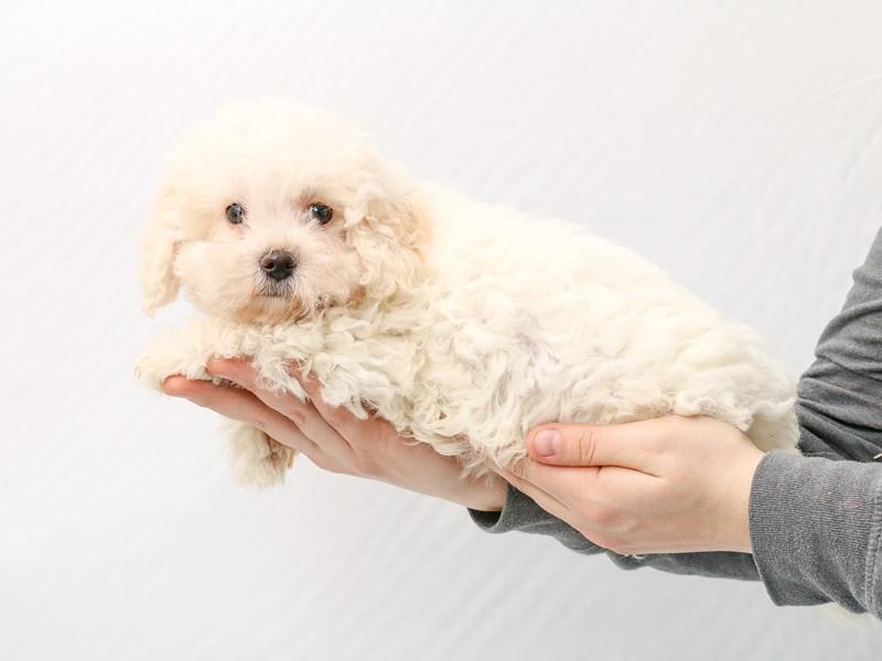 Bichon Frise-Male-white-2923293-My Next Puppy