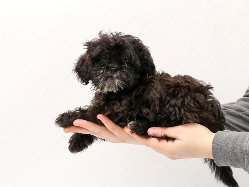 Miniature Shihpoo-Female-Black / White-2923305-My Next Puppy