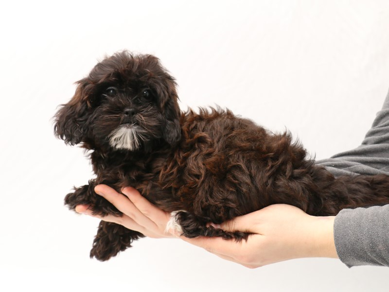 Miniature Shihpoo-Female-Black / White-2923310-My Next Puppy