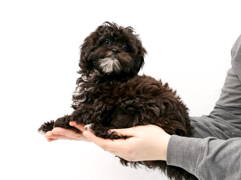 Miniature Shihpoo-Female-Black / White-2923314-My Next Puppy