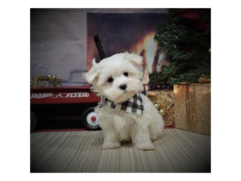Maltese-Male-White-2932153-My Next Puppy