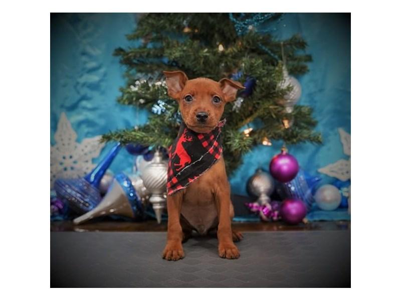Miniature Pinscher-Male-Stag Red-2932163-My Next Puppy