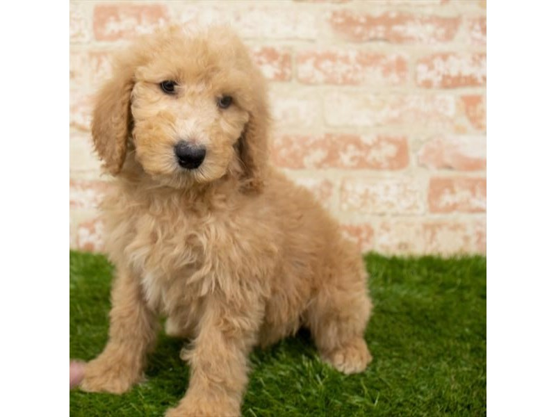 Standard Poodle-Male-Apricot-2942320-My Next Puppy