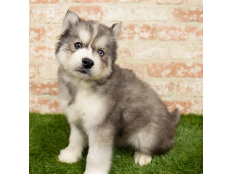 Siberian Husky-Male-Agouti / White-2942403-My Next Puppy