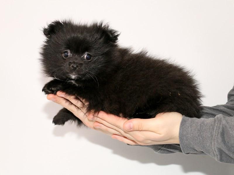 Pomeranian-Female-Black-2942334-My Next Puppy