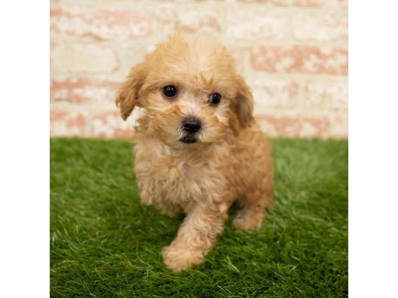 Poodle-Female-Apricot-2955139-My Next Puppy