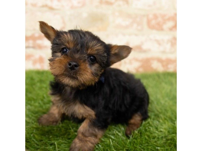 Yorkshire Terrier-Female-Black / Tan-2955142-My Next Puppy