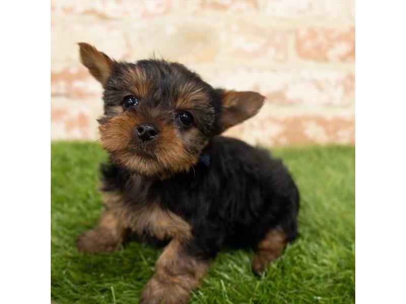 Yorkshire Terrier – Pinot