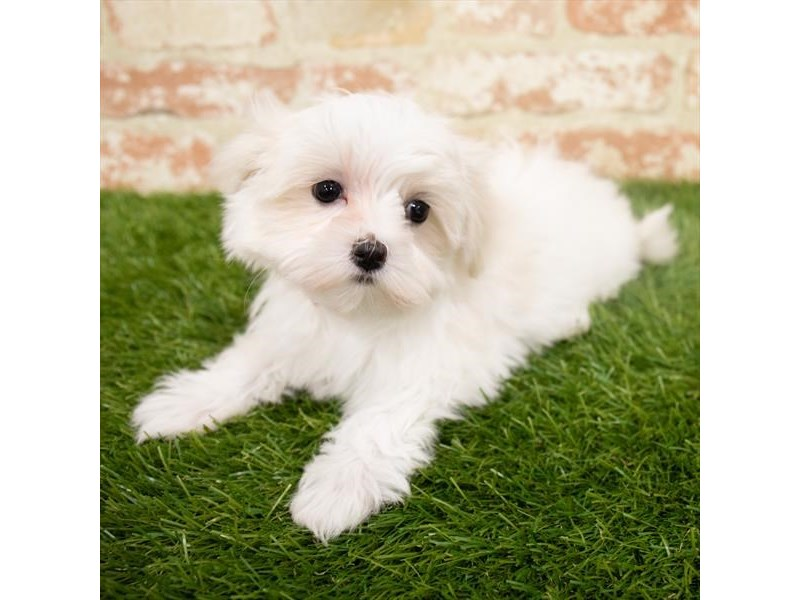 Maltese-Female-White-2955144-My Next Puppy