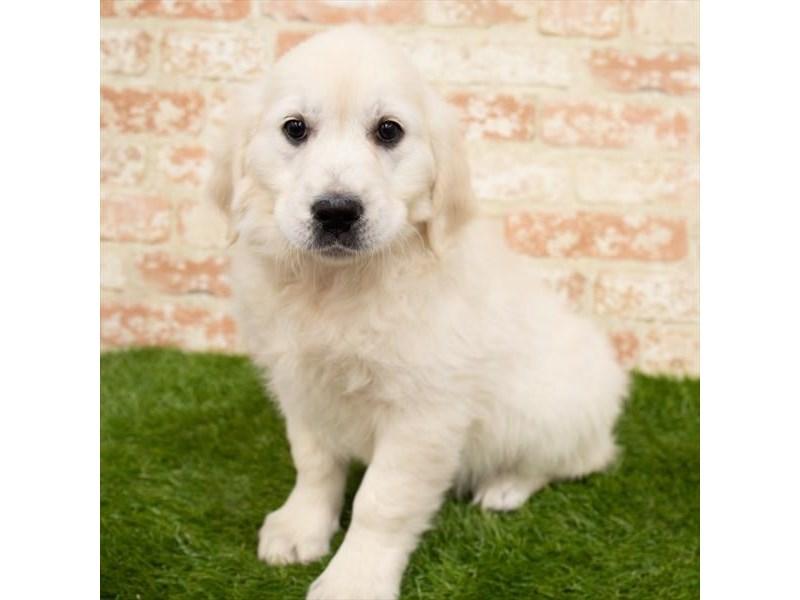 Golden Retriever-Female-Golden-2955146-My Next Puppy