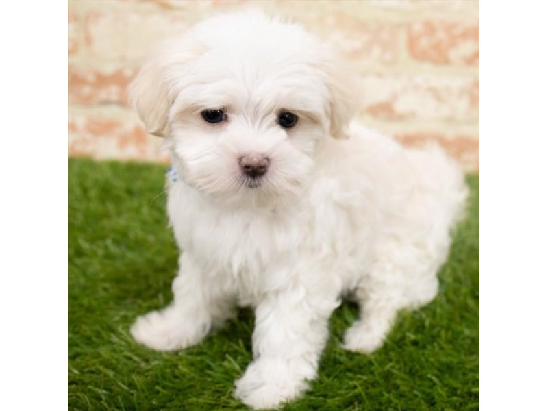 Maltese-Female-White-2955180-My Next Puppy