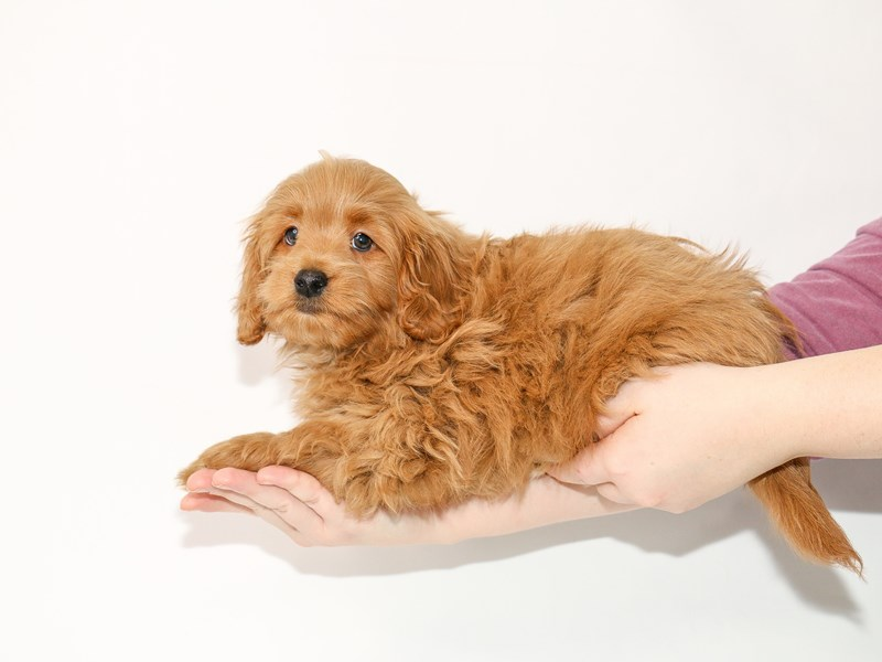 Goldendoodle Mini 2nd Gen-Male-Red-2963675-My Next Puppy