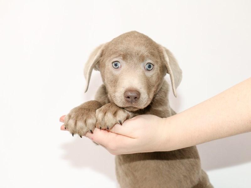 Labrador Retriever-Male-Silver-2963678-My Next Puppy