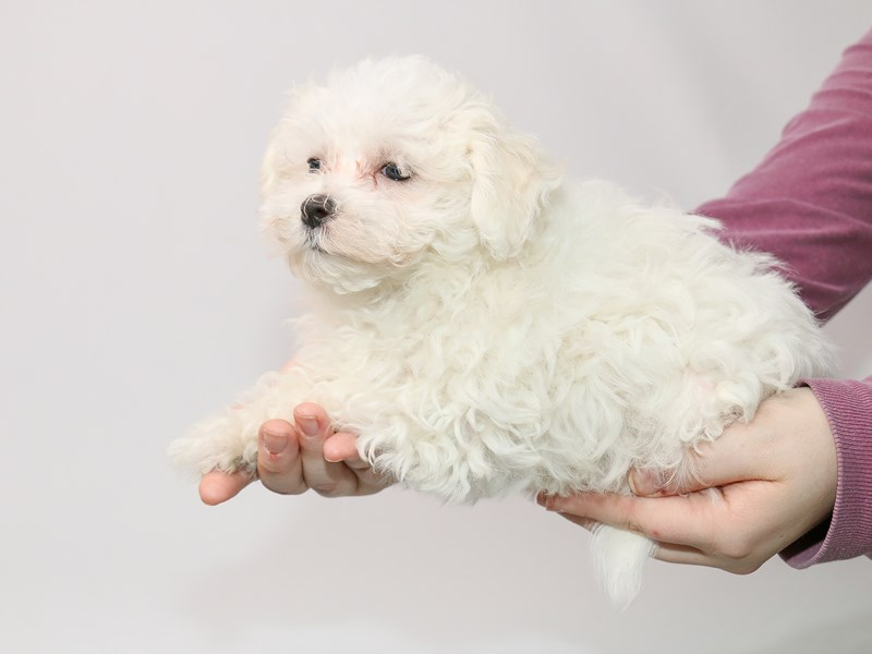 Maltese-Male-White-2963679-My Next Puppy