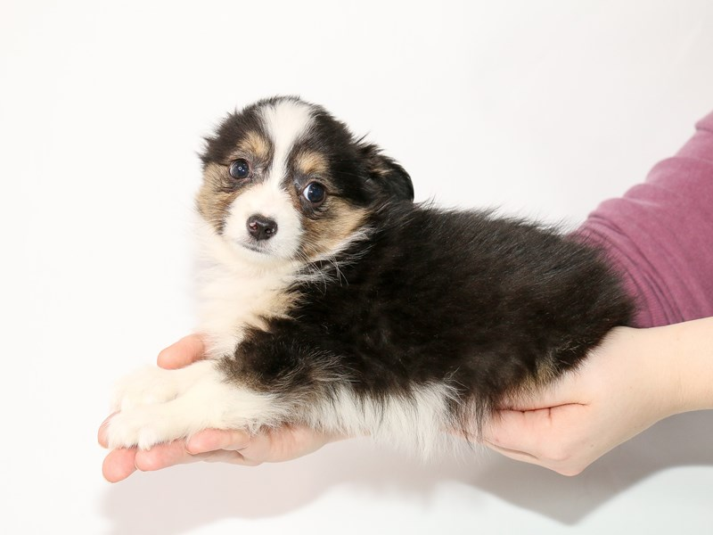 Miniature Australian Shepherd-Female-Black-2963681-My Next Puppy
