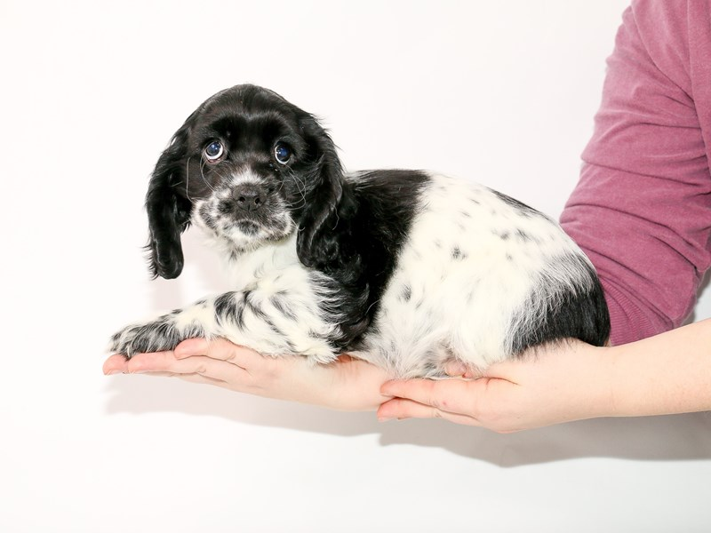 Cocker Spaniel-Female-Black-2963685-My Next Puppy