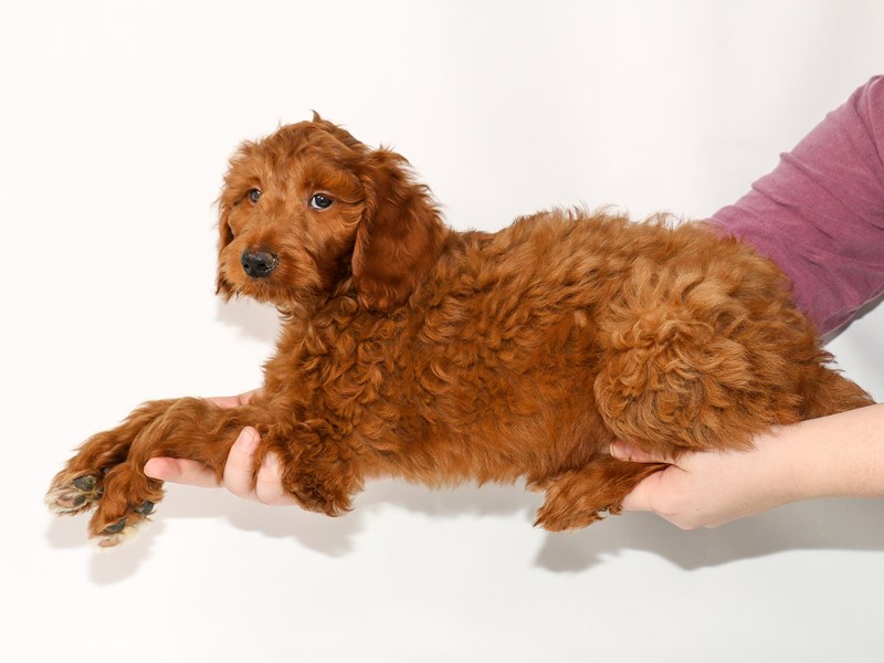 Goldendoodle 2nd Gen-Male-Red-2963686-My Next Puppy