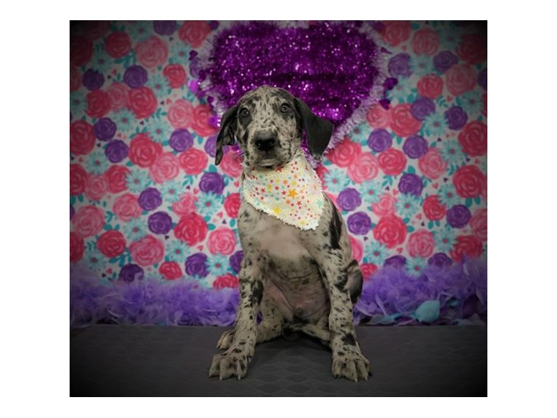 Great Dane-Male-Blue Merle-2972852-My Next Puppy