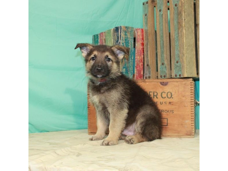German Shepherd Dog-Male-Black / Tan-2980362-My Next Puppy