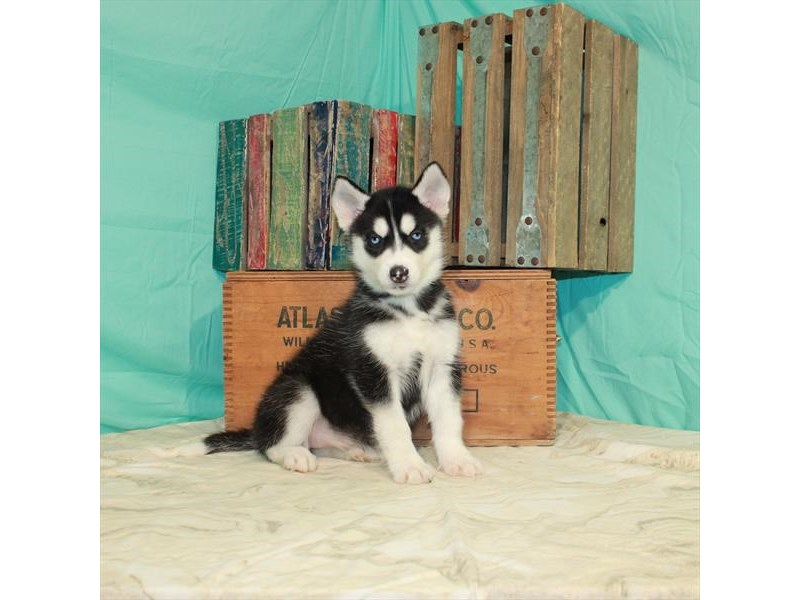 Siberian Husky-Female-Black / White-2918600-My Next Puppy