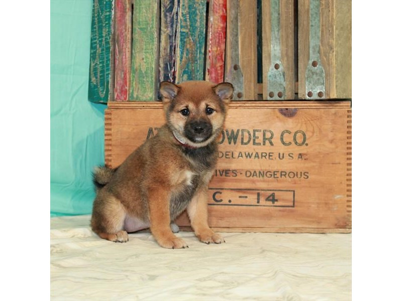 Shiba Inu-Female-Sable-2918601-My Next Puppy