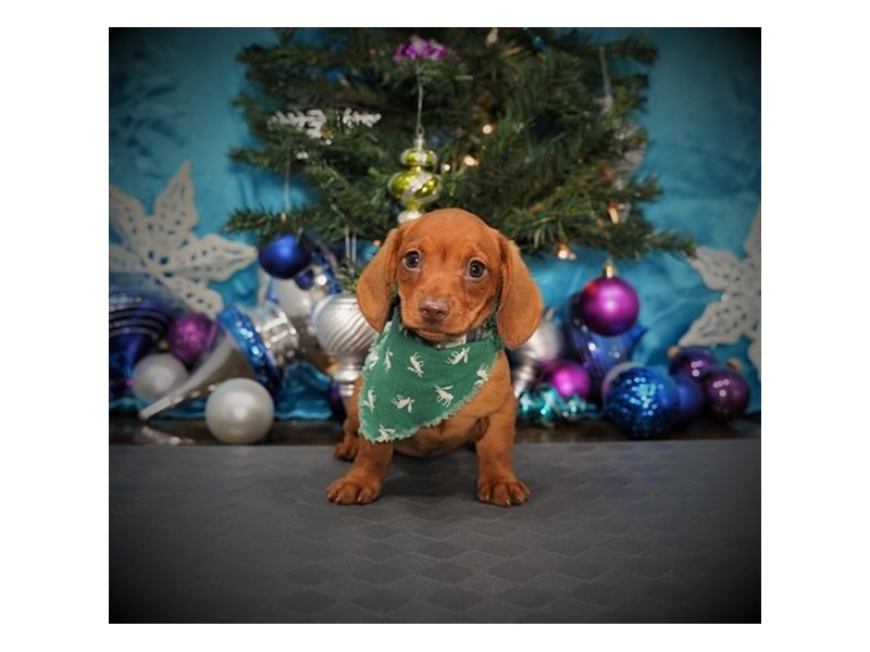 Dachshund-Male-Red-2925767-My Next Puppy
