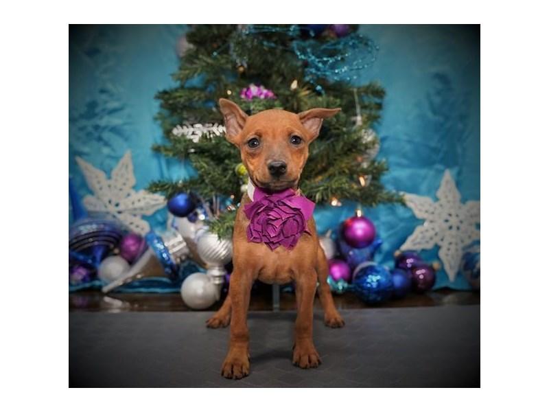 Miniature Pinscher-Female-Stag Red-2925773-My Next Puppy