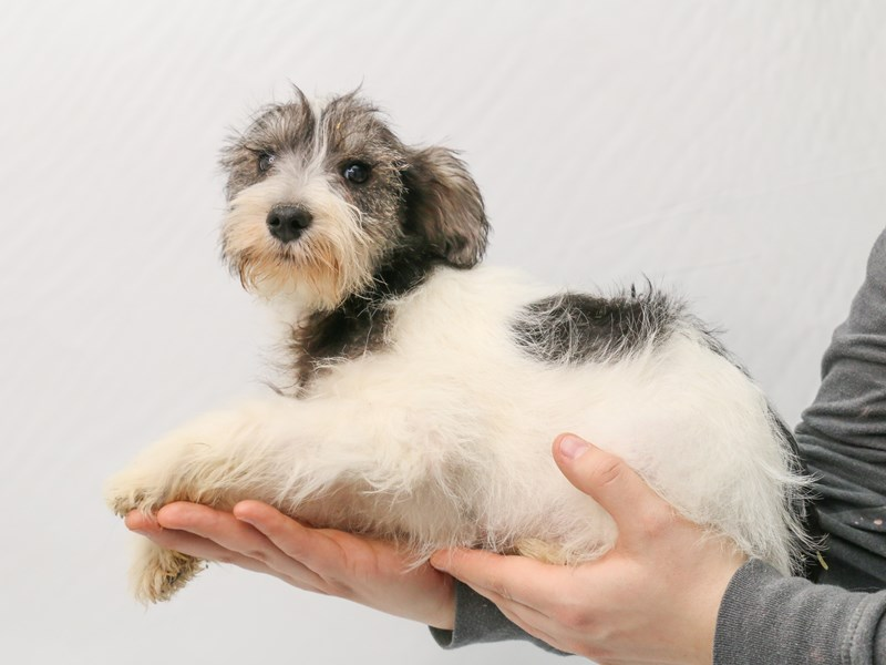 Miniature Schnauzer-Male-Salt / Pepper-2906139-My Next Puppy