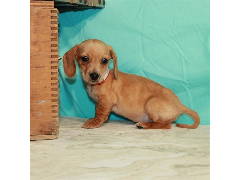 Miniature Dachshund-Female-Isabella-2932129-My Next Puppy