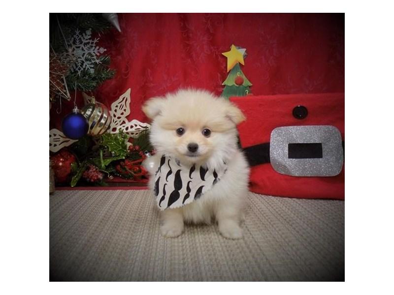 Pomeranian-Male-Cream-2932151-My Next Puppy