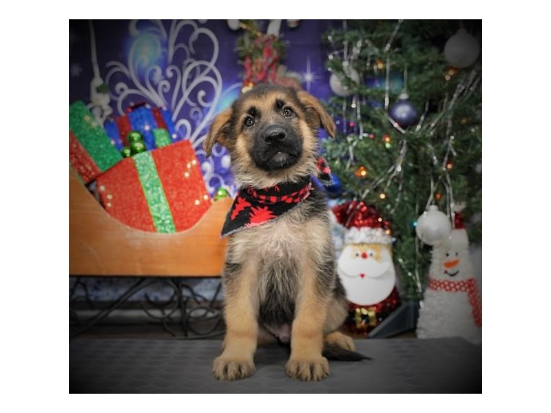 German Shepherd Dog-Male-Black / Tan-2932152-My Next Puppy