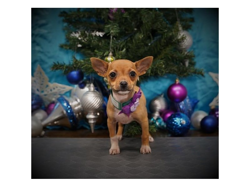 Chihuahua-Female-Fawn-2932167-My Next Puppy