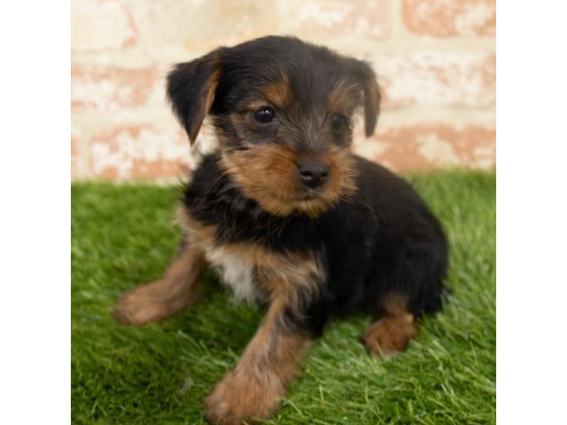 Yorkshire Terrier-Female-Black / Tan-2932665-My Next Puppy