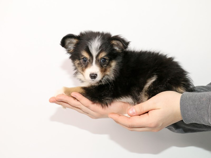 Miniature Australian Shepherd-Male-Black-2932132-My Next Puppy