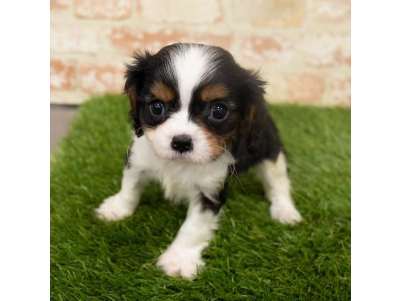 Cavalier King Charles Spaniel-Male-Black-2942402-My Next Puppy