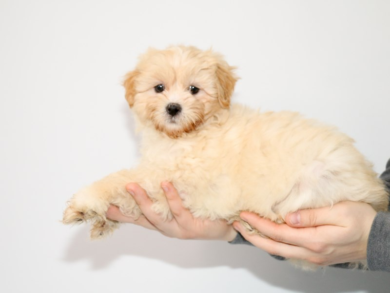 Shih Apso-Female-Cream-2942329-My Next Puppy
