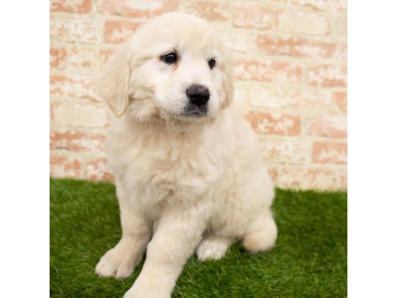 Golden Retriever-Female-Golden-2955145-My Next Puppy