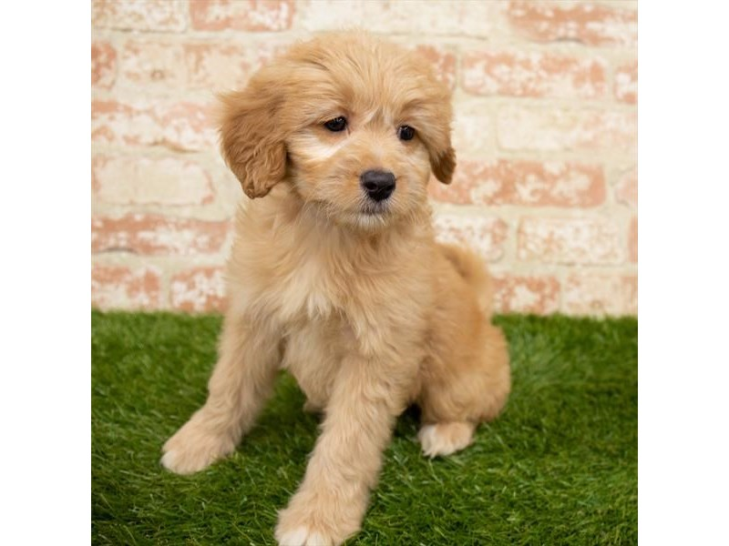 Goldendoodle-Female-Golden-2955182-My Next Puppy