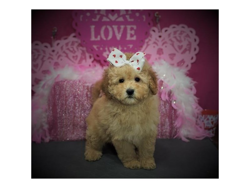 Goldendoodle 2nd Gen-Female-Apricot-2972850-My Next Puppy