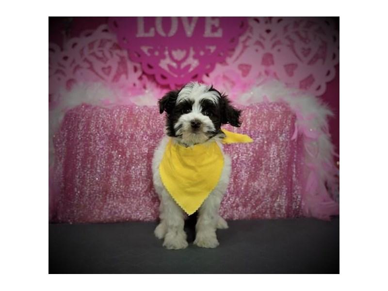 Havapoo-Male-Chocolate-2972851-My Next Puppy