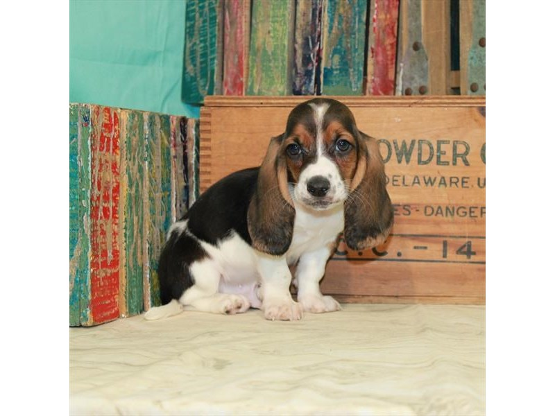 Basset Hound-Male-Black White / Tan-2980361-My Next Puppy