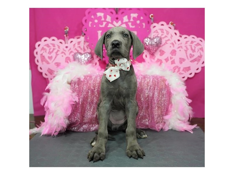 Great Dane-Female-Blue-2980365-My Next Puppy